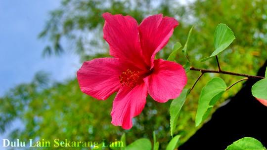 Bunga Raya 3 540x304 Bunga Raya Bunga Kebangsaan