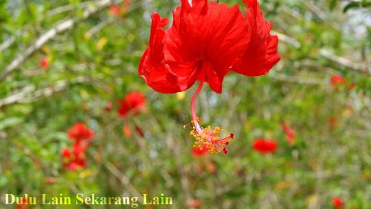 Bunga Raya 540x304 Bunga Raya Bunga Kebangsaan