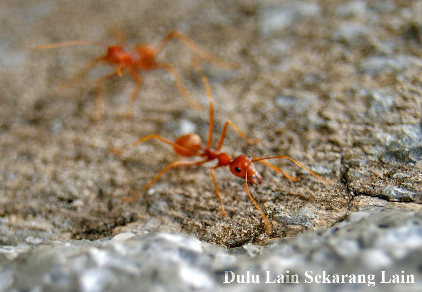 Semut-Merah-Kerengga