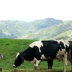 Desa-Dairy-Farm-2