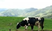 Desa Dairy Farm Mesilau Highland Kundasang