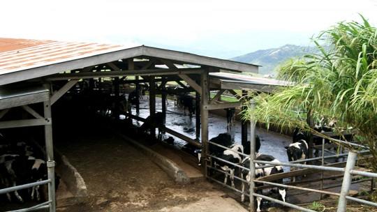 Desa Dairy Farm 3 540x304 Desa Dairy Farm Mesilau Highland Kundasang