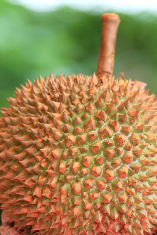 Buah Durian 540x810 photo