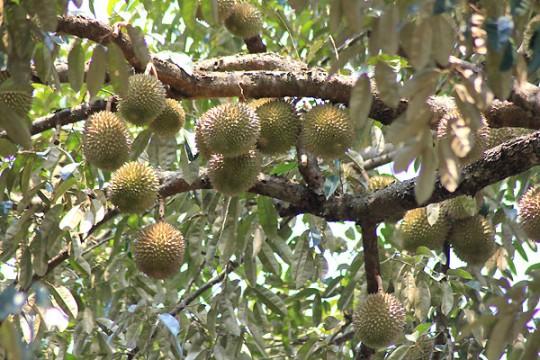 Pokok Durian 540x360 Musim Buah Buahan