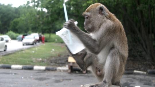 Monyet Muar