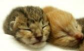 Cara Mengenalpasti Jantina Anak Kucing Yang Baru Lahir
