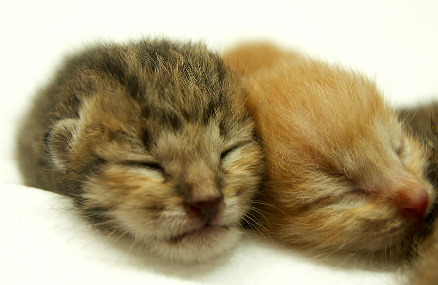 anak-kucing-4