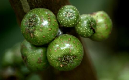 poisonous-fruit