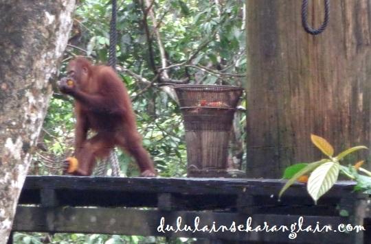 Orangutan at Sepilok Orangutan Sanctuary